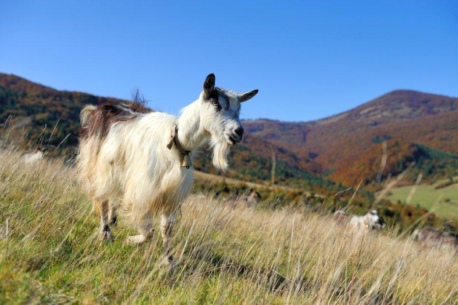 Koza na ispasi